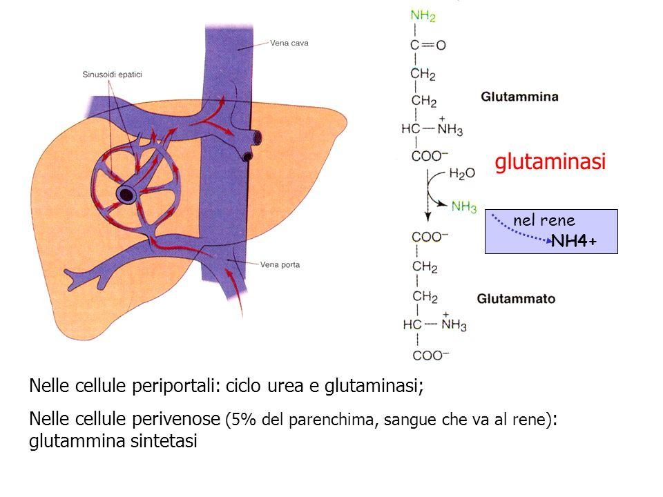 glutaminasi Nelle cellule periportali: ciclo urea e glutaminasi;