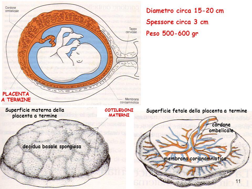Superficie materna della placenta a termine decidua basale spongiosa