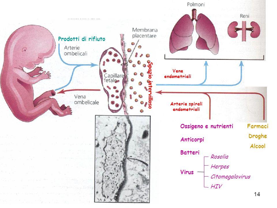 Arterie spirali endometriali