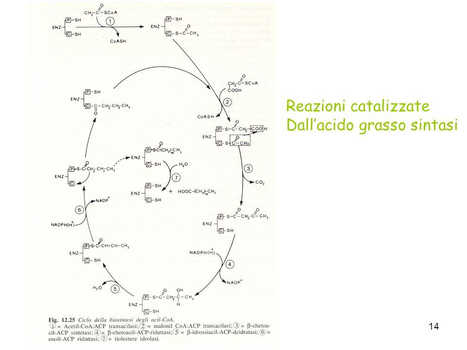 Reazioni catalizzate Dall'acido grasso sintasi