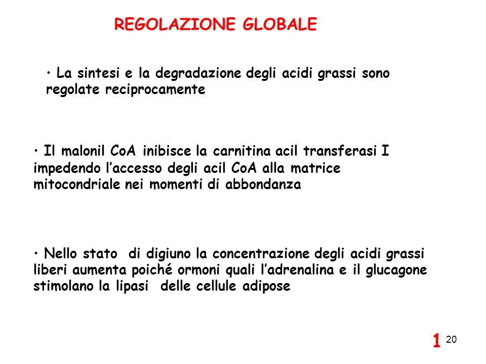 REGOLAZIONE GLOBALE La sintesi e la degradazione degli acidi grassi sono regolate reciprocamente.