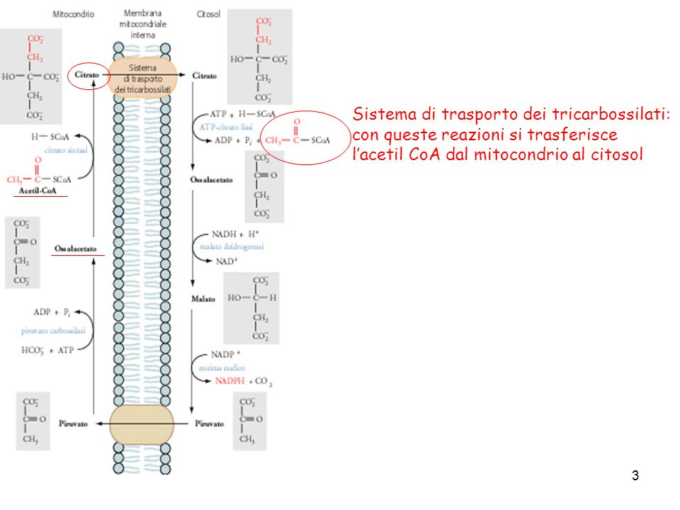 Sistema di trasporto dei tricarbossilati: