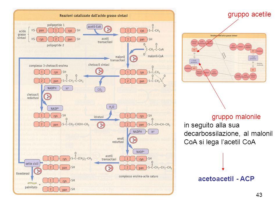 gruppo malonile in seguito alla sua decarbossilazione, al malonil CoA si lega l'acetil CoA. gruppo acetile.