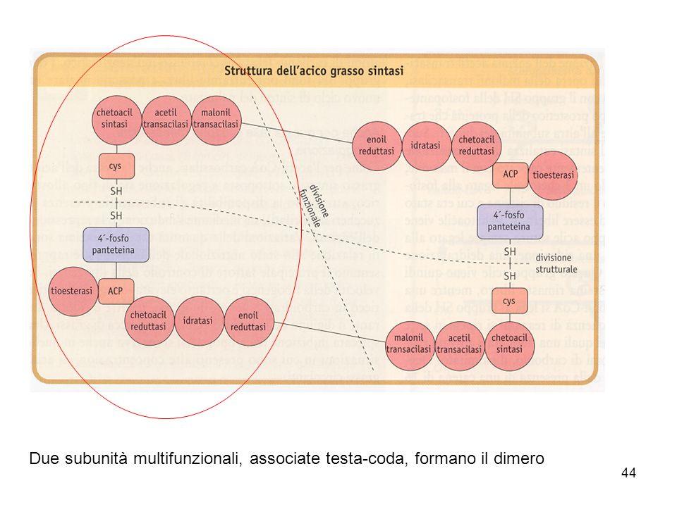 Due subunità multifunzionali, associate testa-coda, formano il dimero