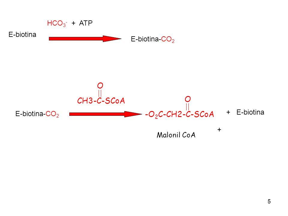 O O CH3-C-SCoA -O2C-CH2-C-SCoA HCO3- + ATP E-biotina E-biotina-CO2