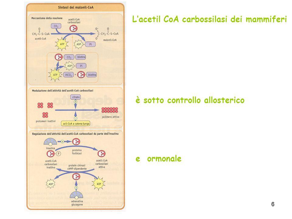 L'acetil CoA carbossilasi dei mammiferi