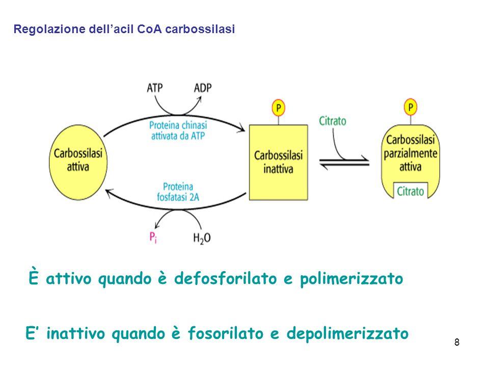 È attivo quando è defosforilato e polimerizzato