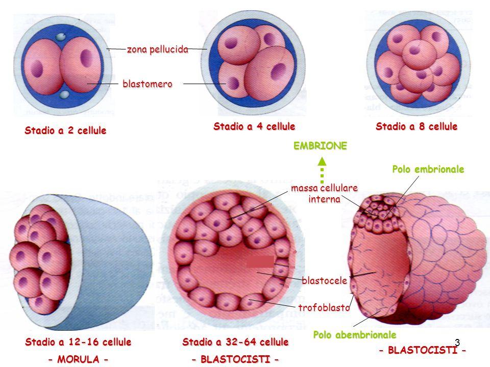 massa cellulare interna