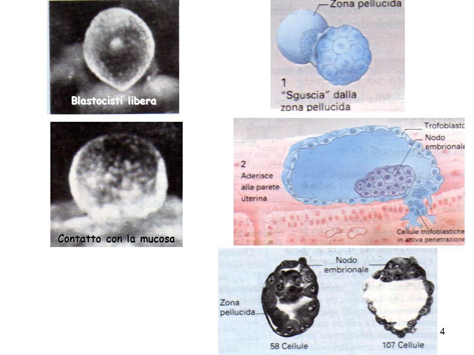 Blastocisti libera Contatto con la mucosa