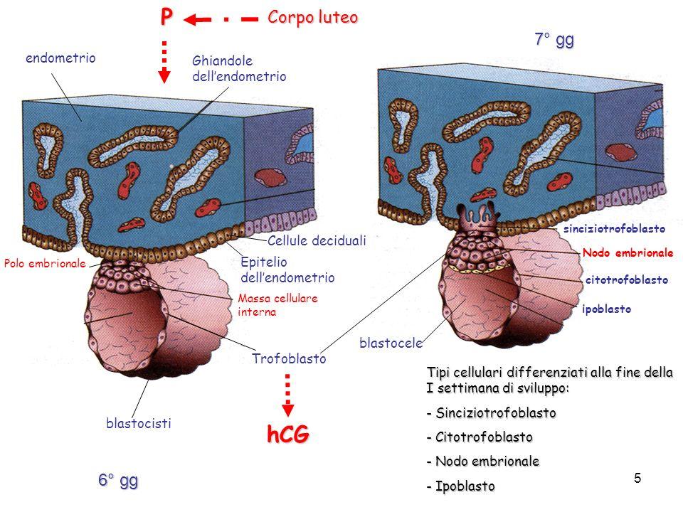 P hCG Corpo luteo 7° gg 6° gg endometrio Ghiandole dell'endometrio