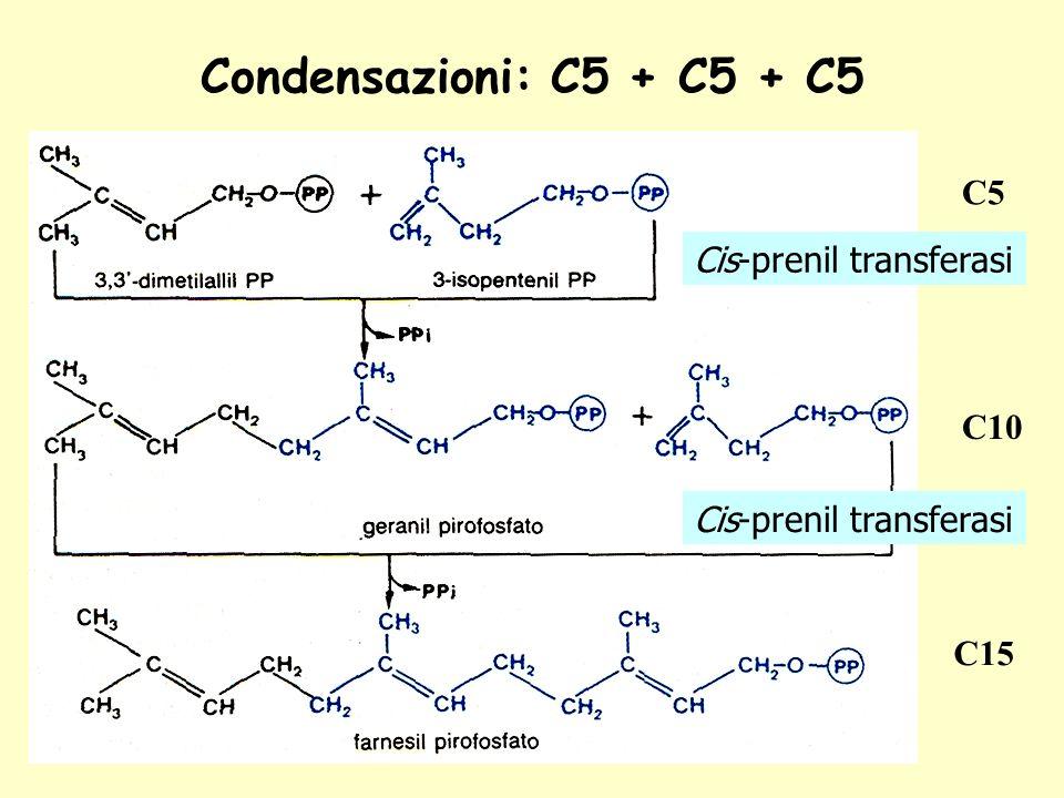 Condensazioni: C5 + C5 + C5 C5 Cis-prenil transferasi C10 C15