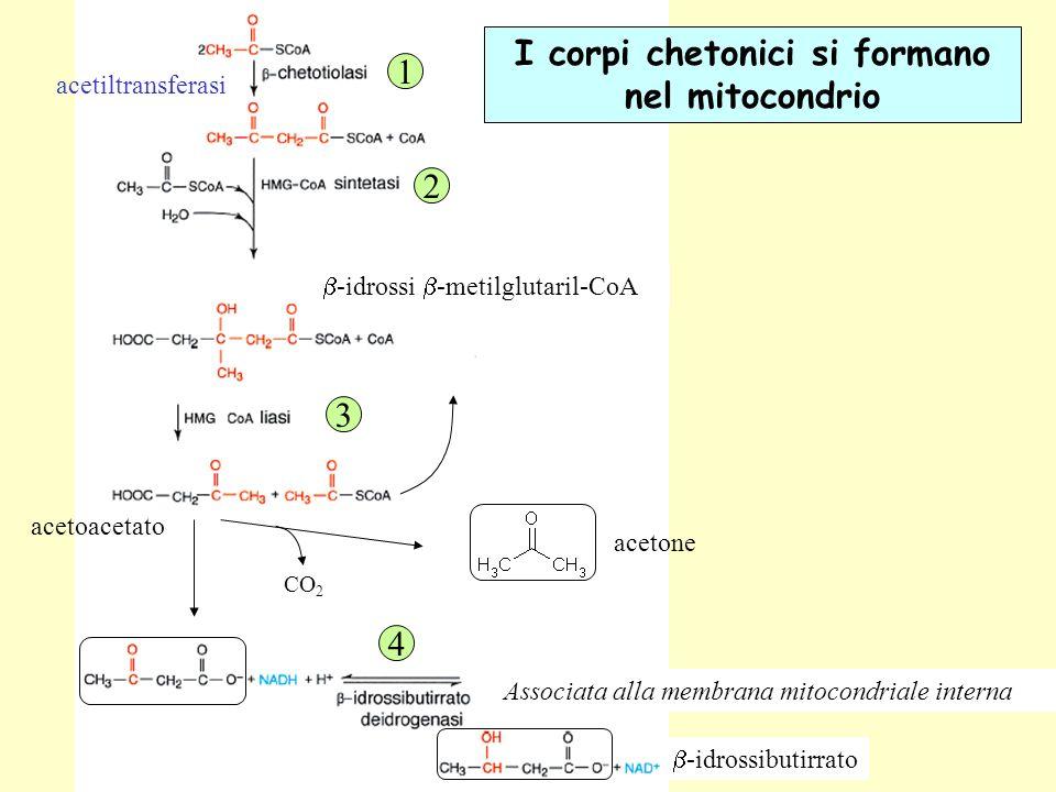 I corpi chetonici si formano nel mitocondrio