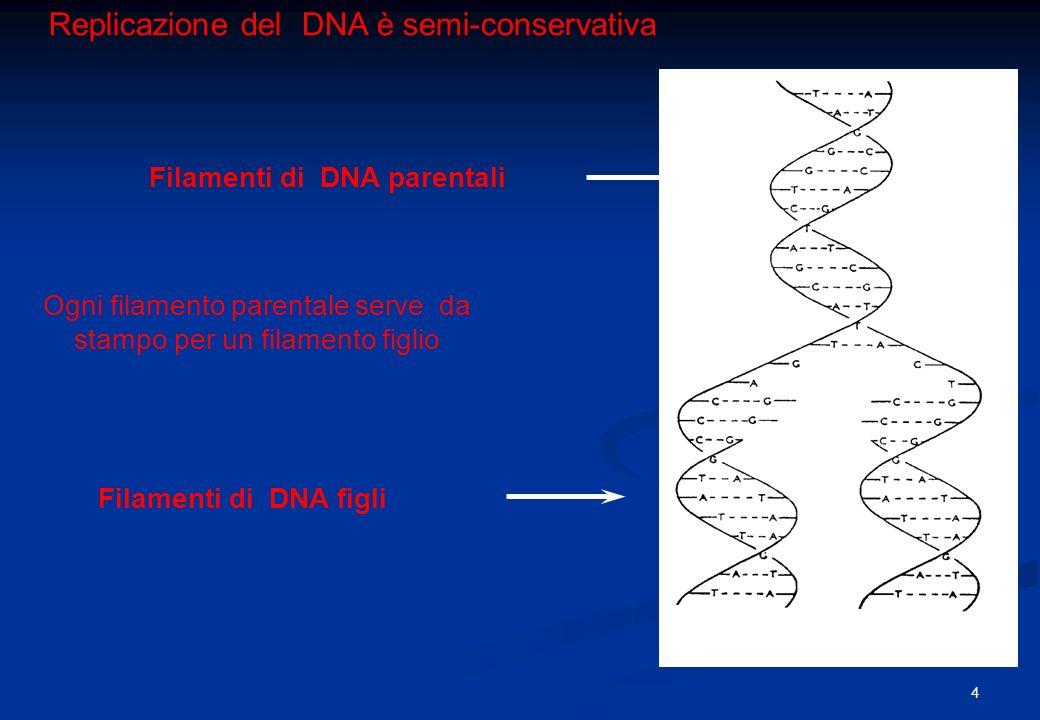 Replicazione del DNA è semi-conservativa