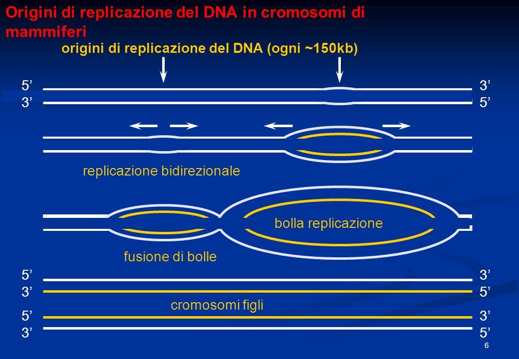 Origini di replicazione del DNA in cromosomi di mammiferi