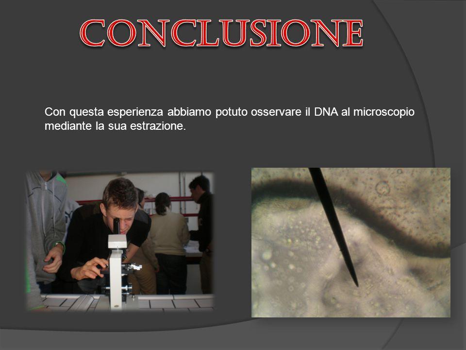 conclusione Con questa esperienza abbiamo potuto osservare il DNA al microscopio mediante la sua estrazione.