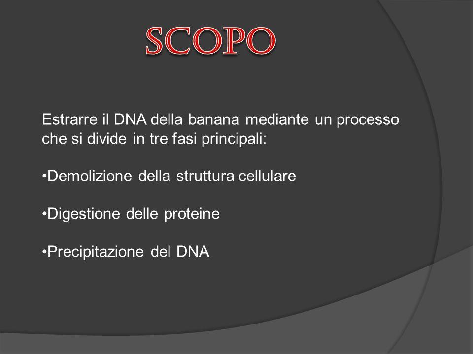 scopo Estrarre il DNA della banana mediante un processo che si divide in tre fasi principali: Demolizione della struttura cellulare.