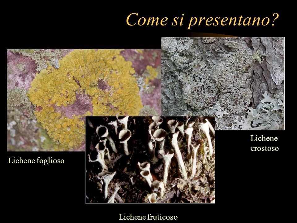 Come si presentano Lichene crostoso Lichene foglioso