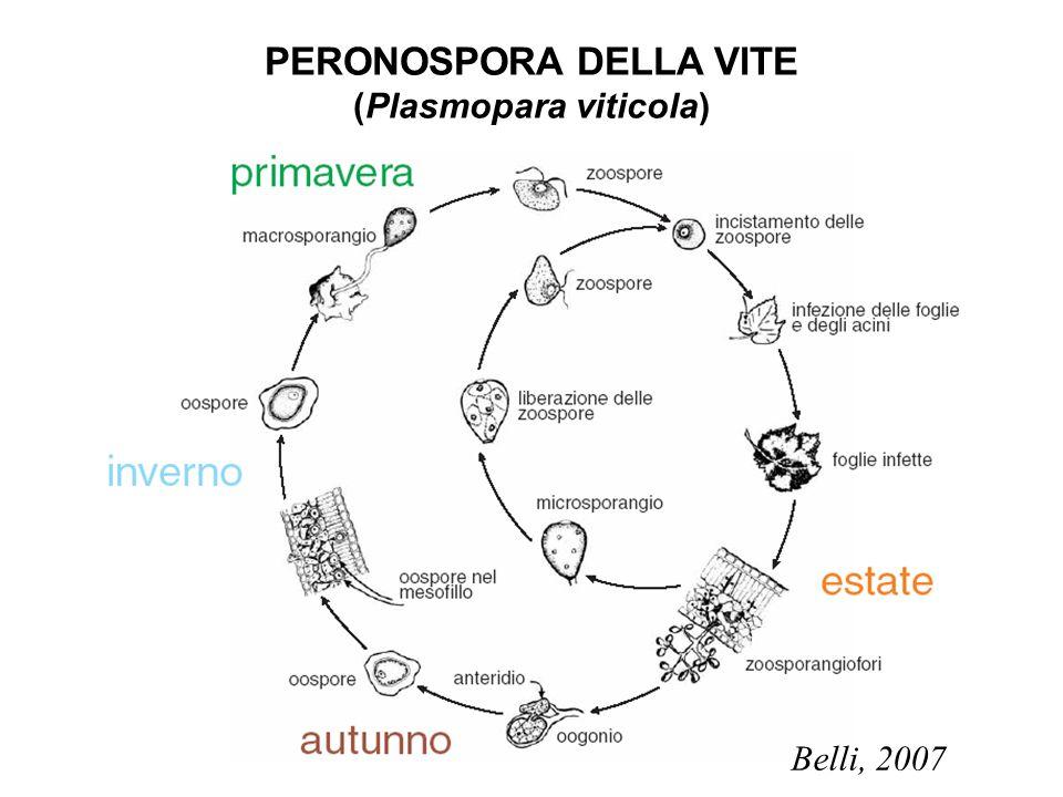 PERONOSPORA DELLA VITE (Plasmopara viticola)