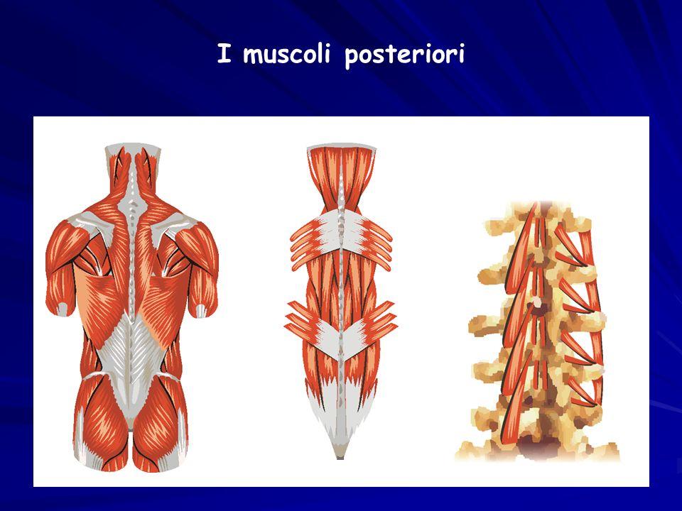 I muscoli posteriori