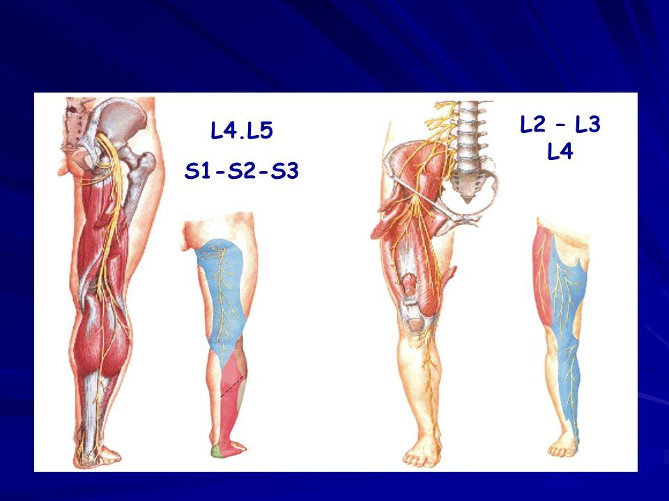 L2 – L3 L4 L4.L5 S1-S2-S3