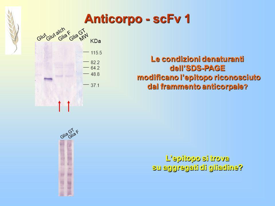 Anticorpo - scFv 1 Le condizioni denaturanti dell'SDS-PAGE