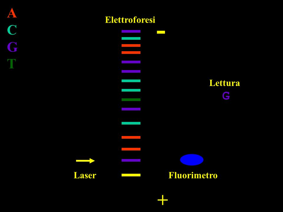 A C G T - Elettroforesi Lettura G Laser Fluorimetro +