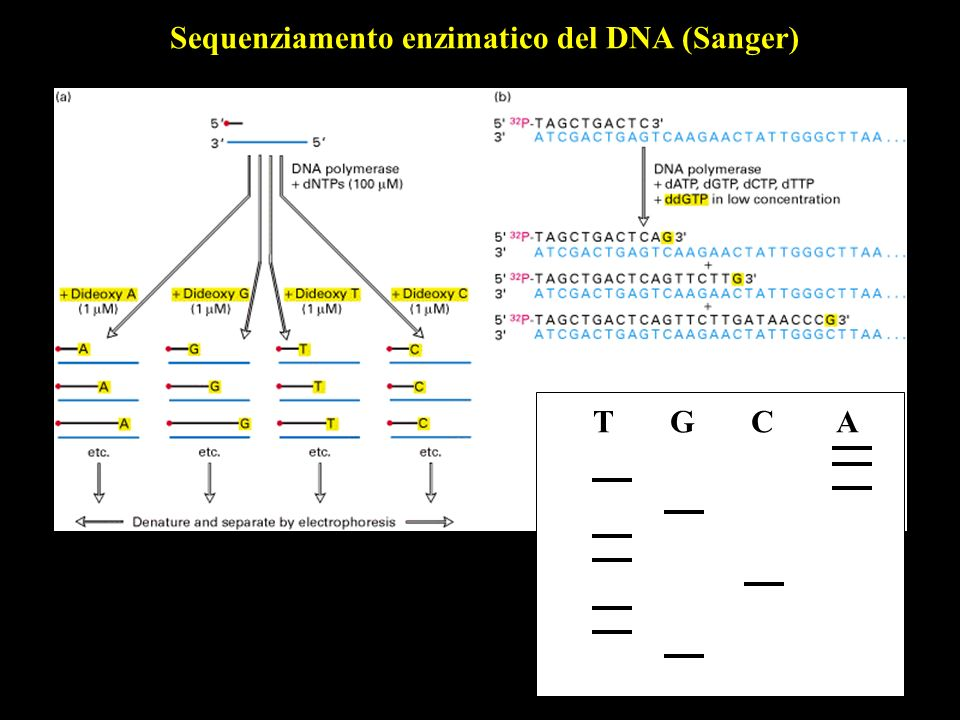 Sequenziamento enzimatico del DNA (Sanger)