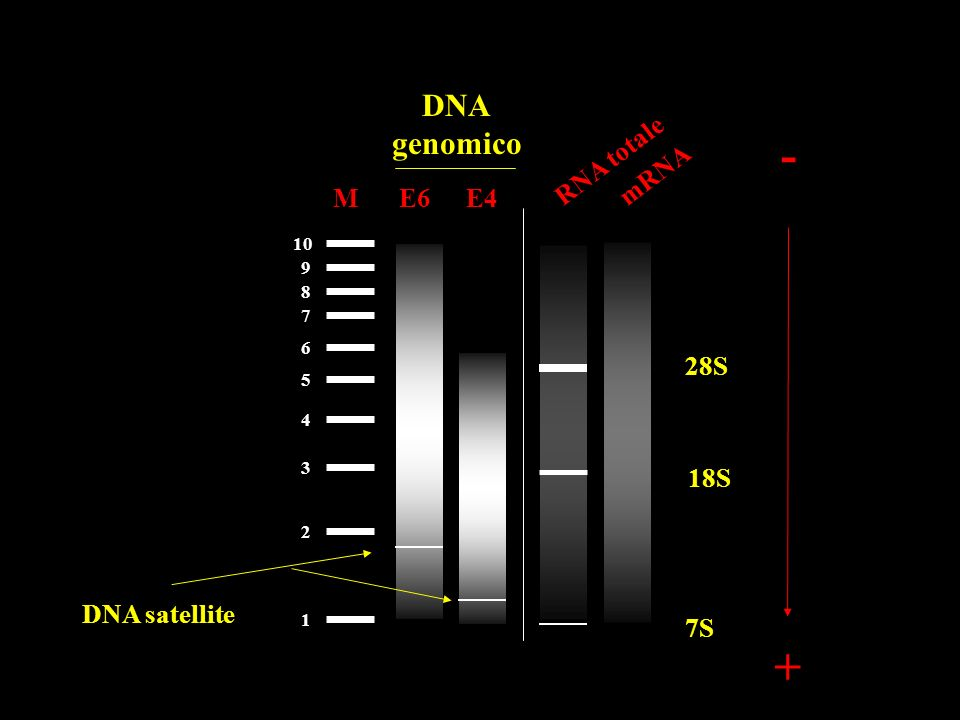 - + DNA genomico RNA totale mRNA M E6 E4 28S 18S DNA satellite 7S 10 9