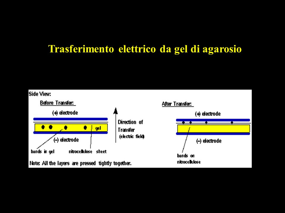 Trasferimento elettrico da gel di agarosio