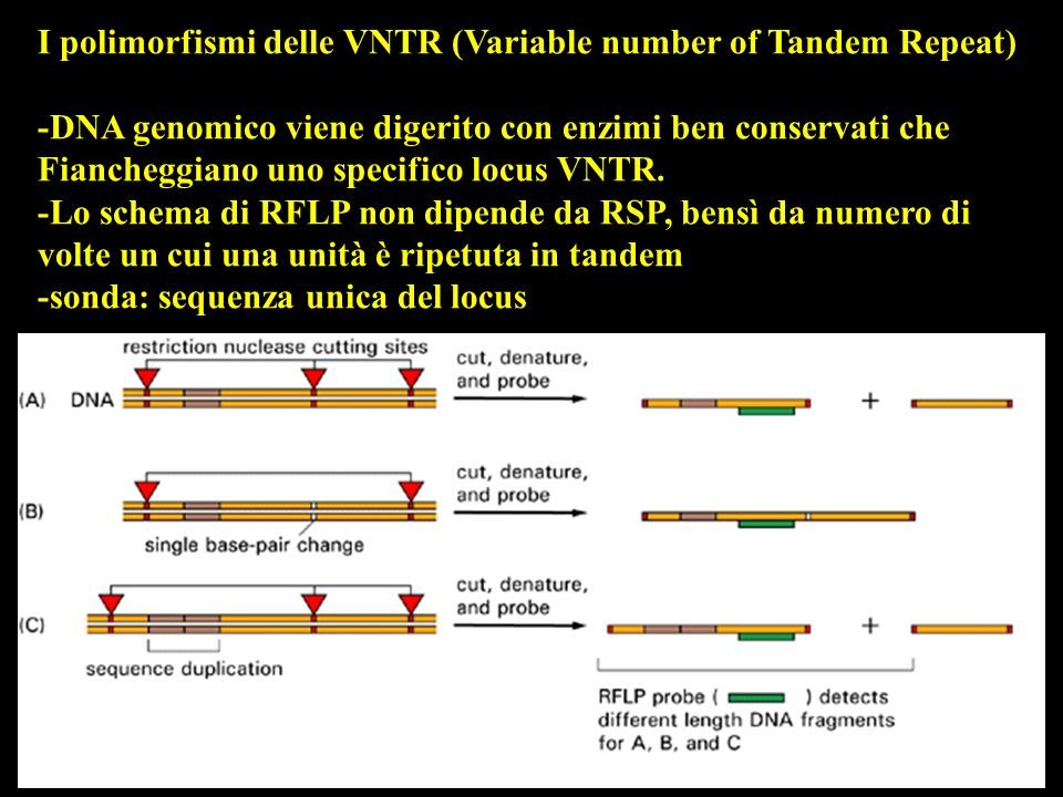 I polimorfismi delle VNTR (Variable number of Tandem Repeat)