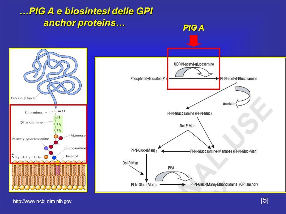 …PIG A e biosintesi delle GPI anchor proteins…