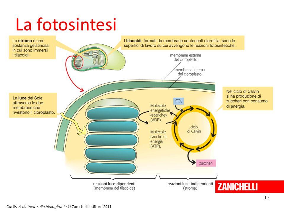 20/11/11 La fotosintesi 17 Curtis et al. Invito alla biologia.blu © Zanichelli editore 2011 17 17