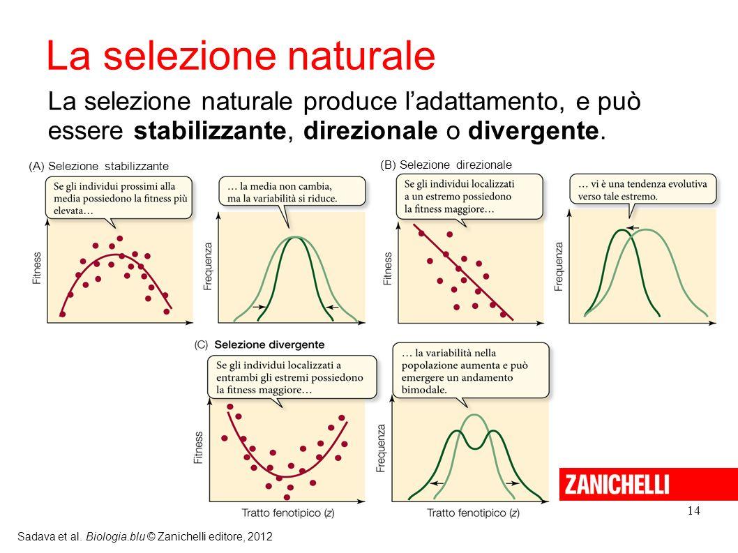 La selezione naturale La selezione naturale produce l'adattamento, e può. essere stabilizzante, direzionale o divergente.