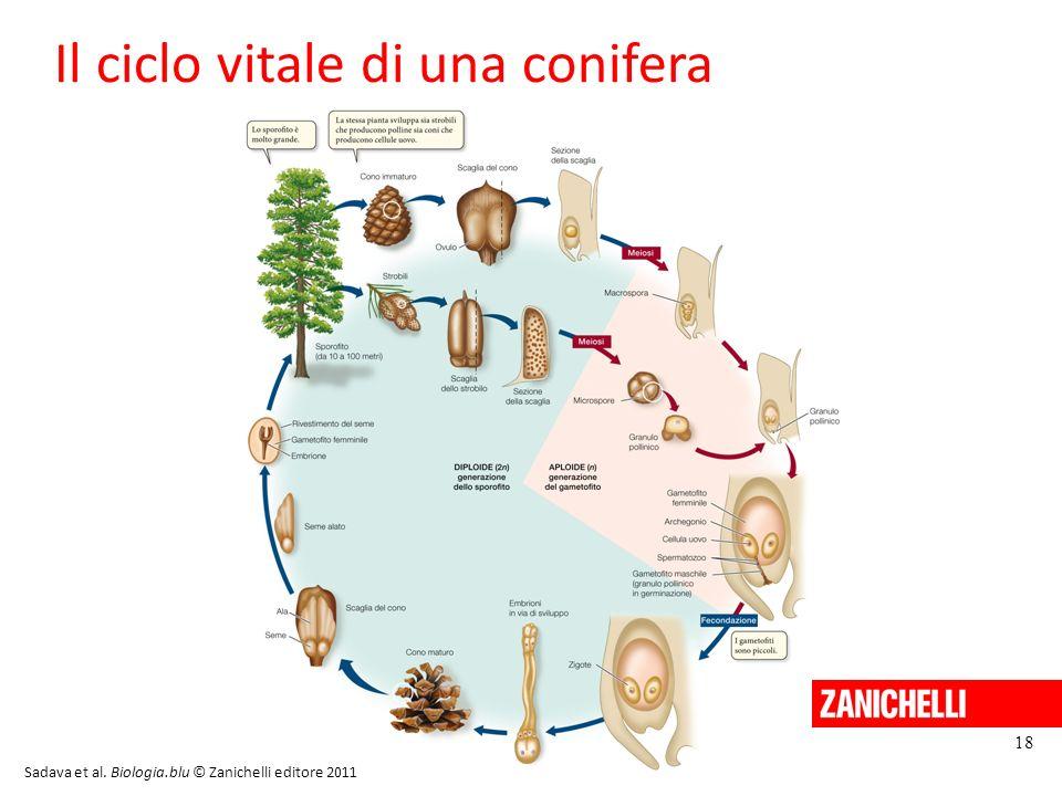 Il ciclo vitale di una conifera