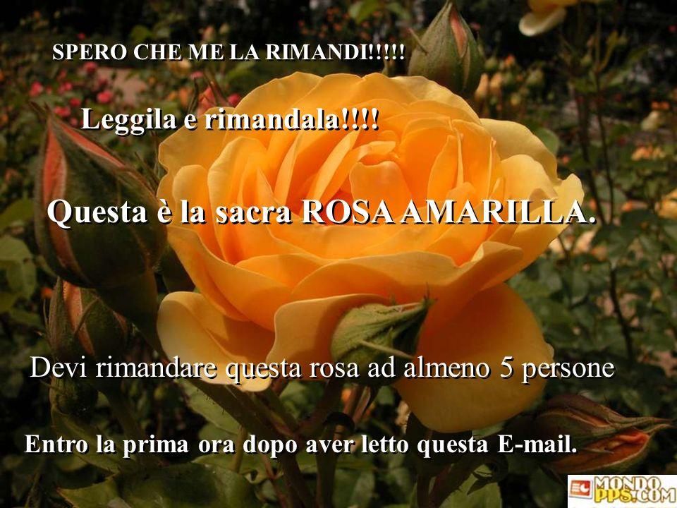 Questa è la sacra ROSA AMARILLA.