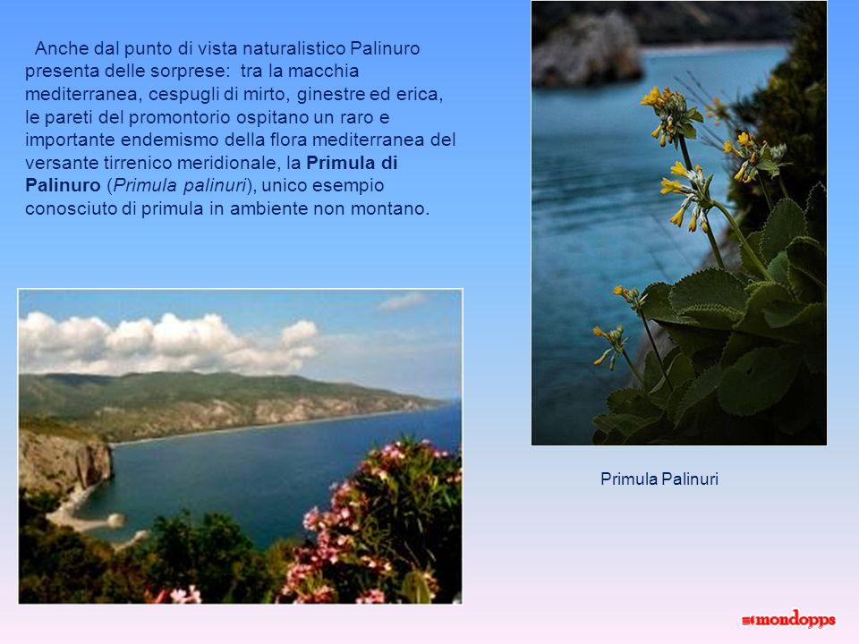 Anche dal punto di vista naturalistico Palinuro presenta delle sorprese: tra la macchia mediterranea, cespugli di mirto, ginestre ed erica,