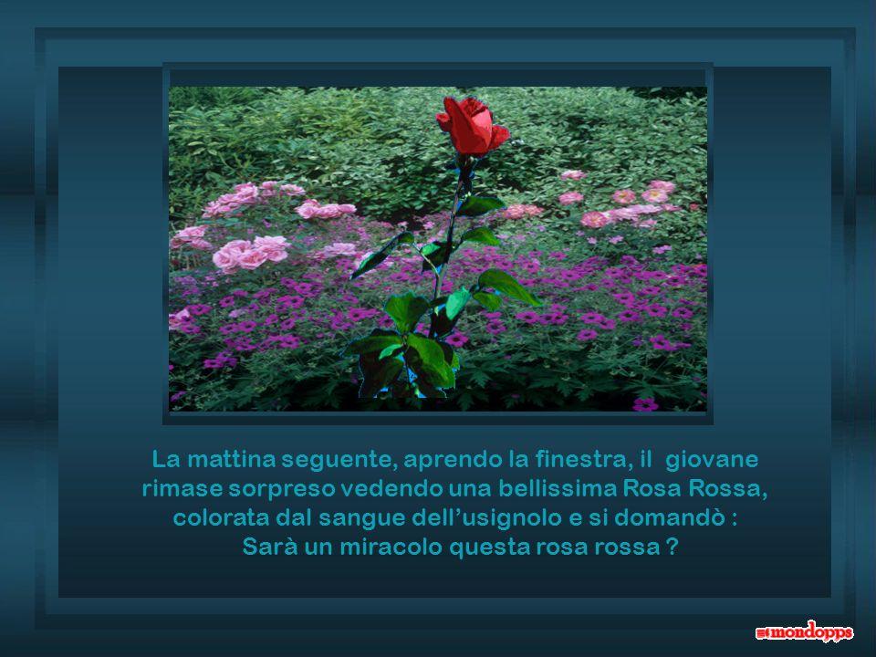 Sarà un miracolo questa rosa rossa