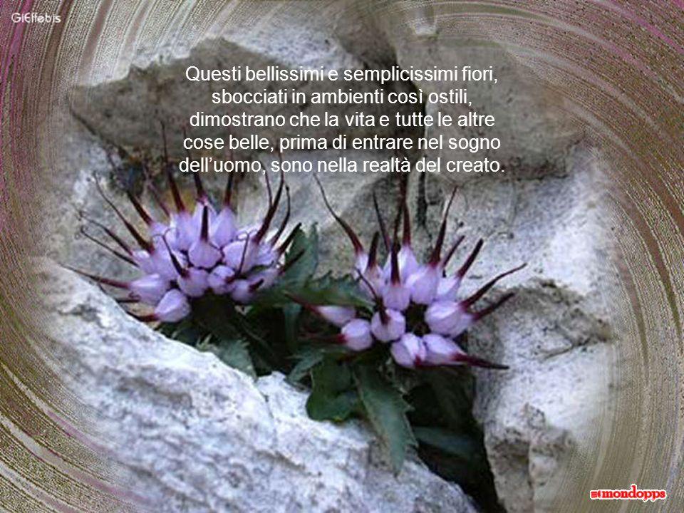 Questi bellissimi e semplicissimi fiori, sbocciati in ambienti così ostili,