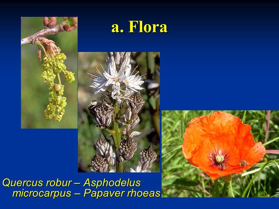 a. Flora Quercus robur – Asphodelus microcarpus – Papaver rhoeas