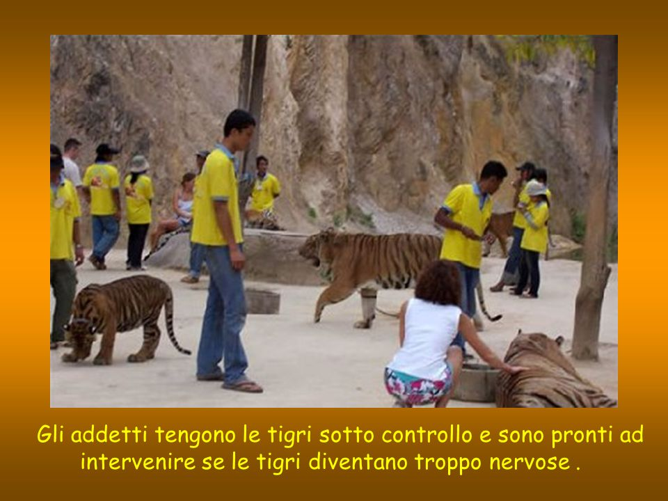 Gli addetti tengono le tigri sotto controllo e sono pronti ad intervenire se le tigri diventano troppo nervose .