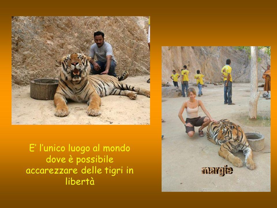 E' l'unico luogo al mondo dove è possibile accarezzare delle tigri in libertà
