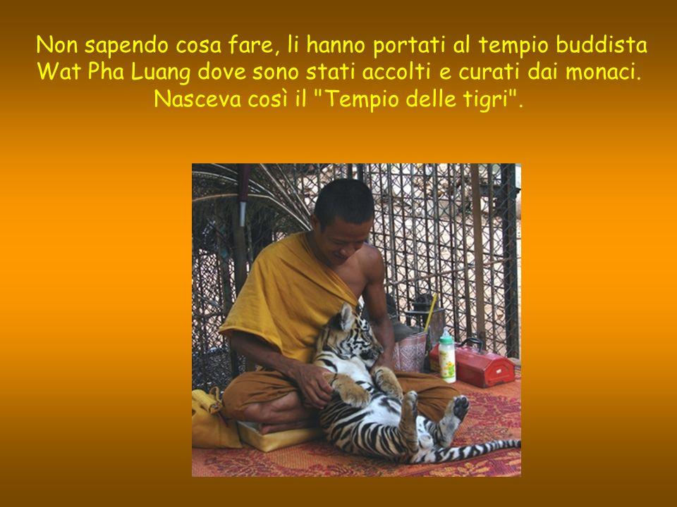 Non sapendo cosa fare, li hanno portati al tempio buddista Wat Pha Luang dove sono stati accolti e curati dai monaci.