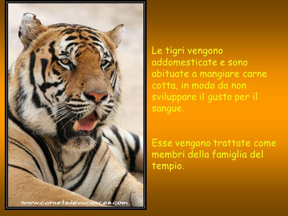 Le tigri vengono addomesticate e sono abituate a mangiare carne cotta, in modo da non sviluppare il gusto per il sangue.