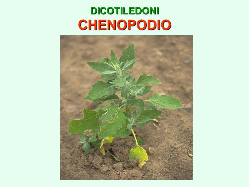 DICOTILEDONI CHENOPODIO