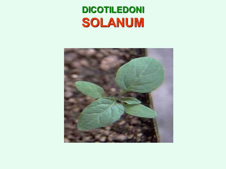 DICOTILEDONI SOLANUM
