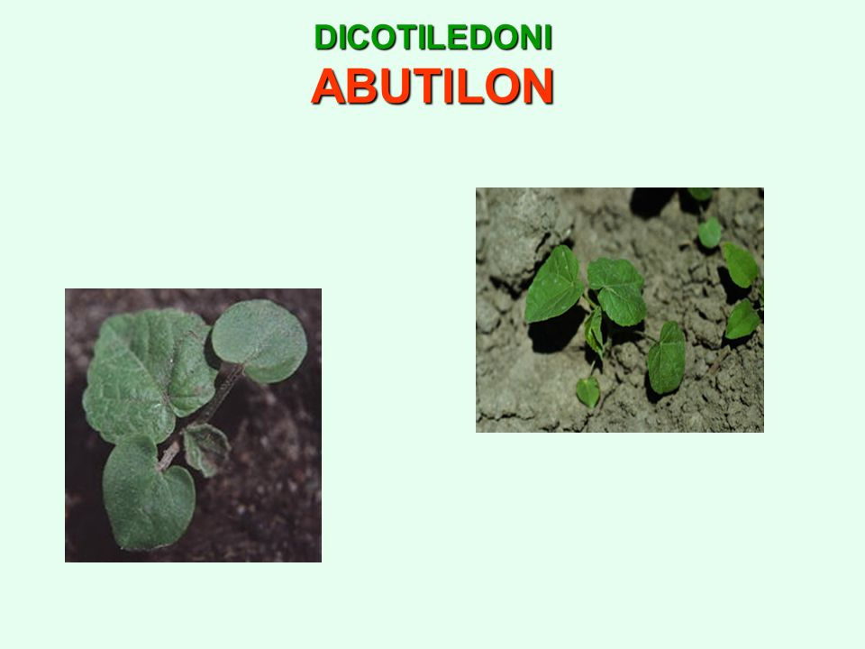 DICOTILEDONI ABUTILON