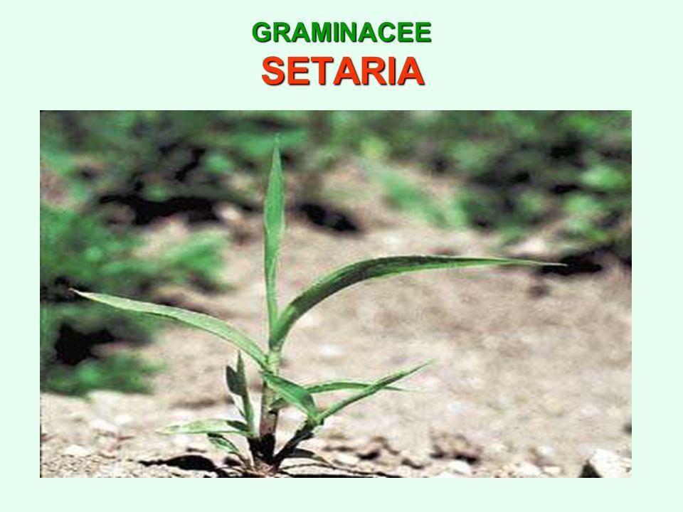 GRAMINACEE SETARIA