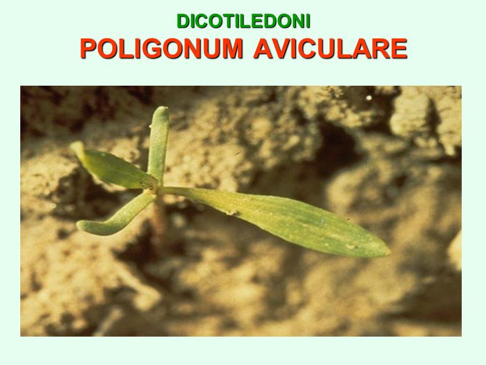 DICOTILEDONI POLIGONUM AVICULARE