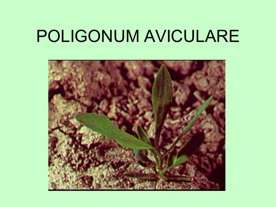 POLIGONUM AVICULARE