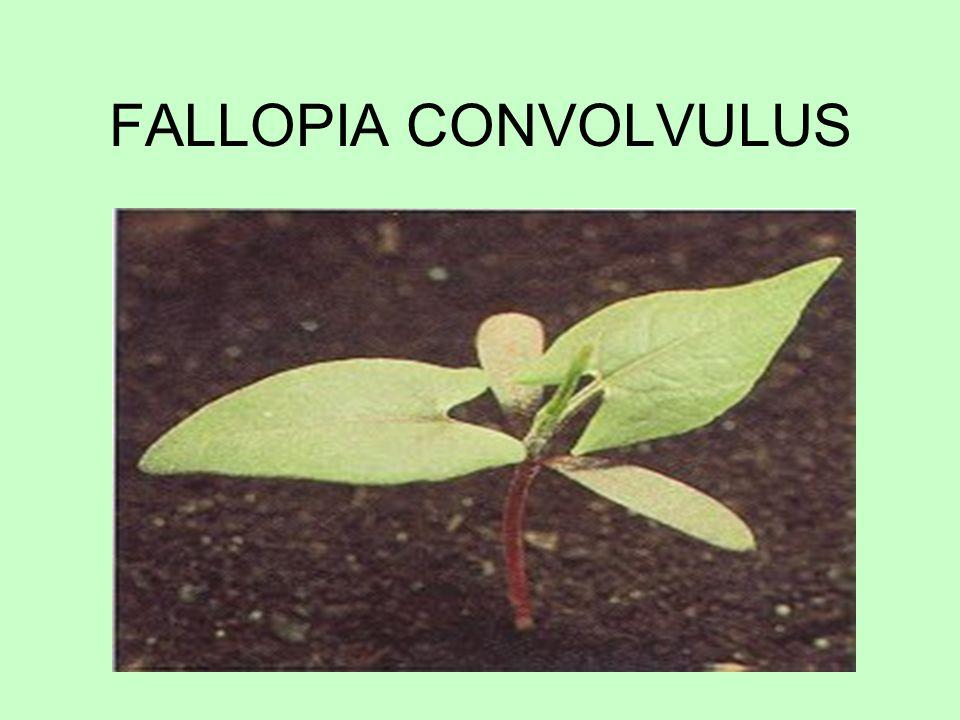 FALLOPIA CONVOLVULUS